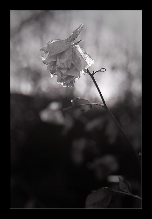 Rose en hiver.jpg