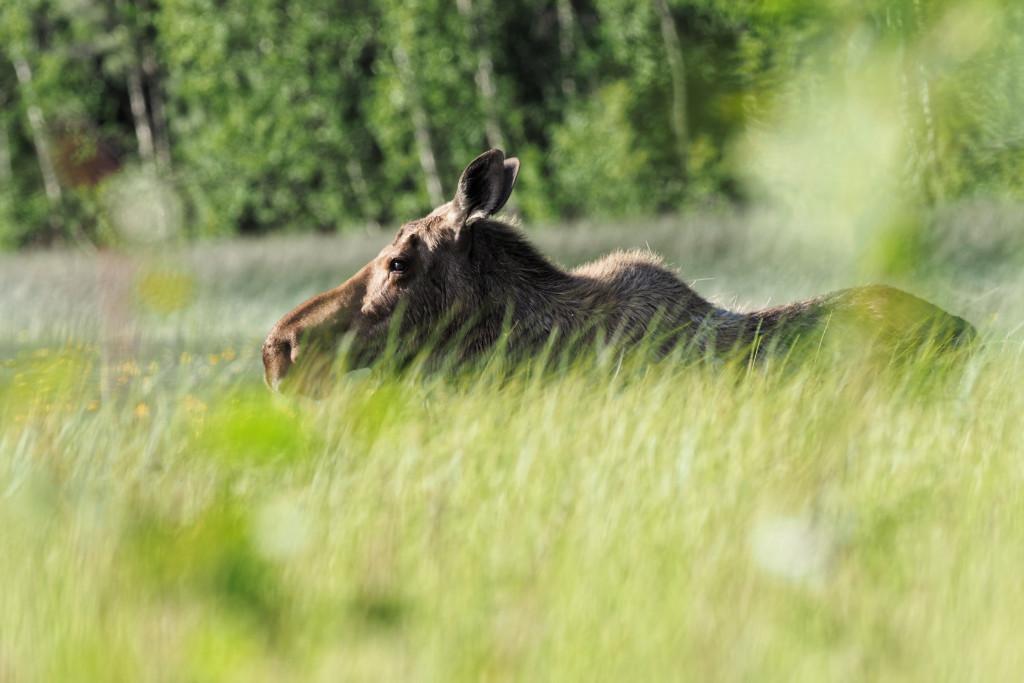 Moose1-Yukon.jpg