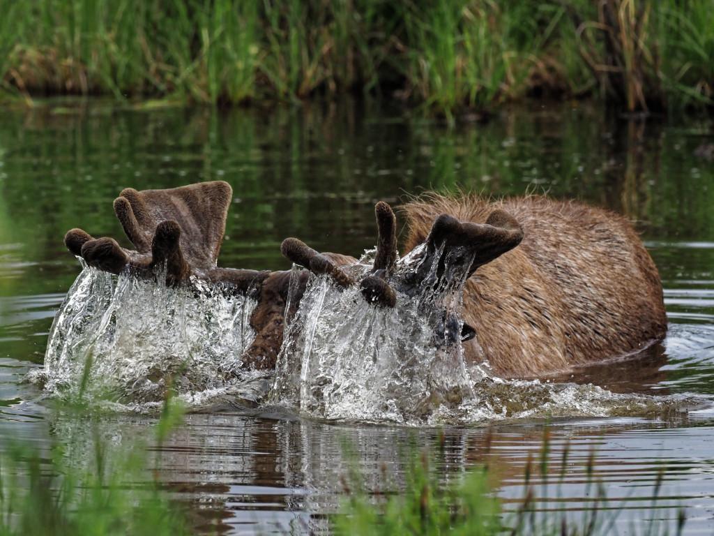 Moose2-Yukon.jpg